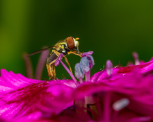 Flower Fly Feeding On Nectar And Pollen From A Purple Flower