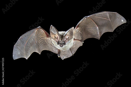 Canvas Print Flying Grey long eared bat