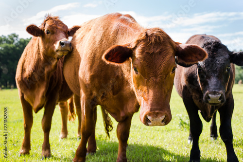 Obraz na plátně  Close up of a Cow and Calves in a Green Pature with Blue Sky looking at Camera