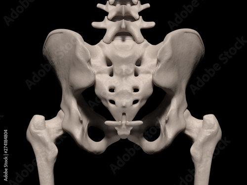 Fotografie, Obraz  Human pelvis