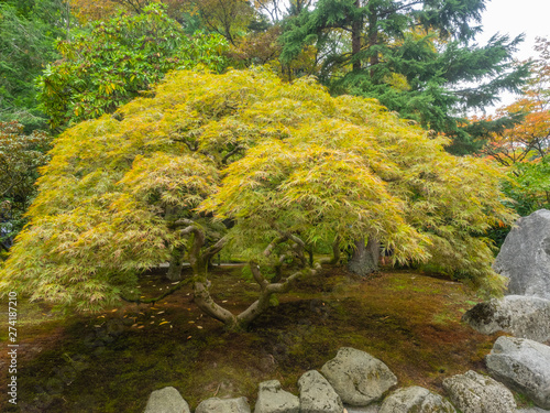 Photo Japanese maple