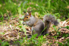 Eastern Gray Tree Squirrel Eating Leaf In The Forest