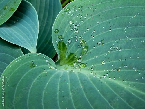 Fotomural Drops of water held in surface tension on the leaf of a Halcyon Hosta plant