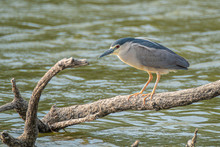 Common Martinete, Nycticorax N...