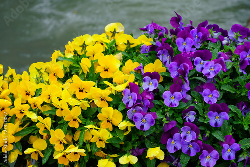 Stickers pour portes Pansies Yellow and purple johnny-jump-up pansy violet flowers