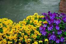 Yellow And Purple Johnny-jump-up Pansy Violet Flowers
