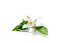 Orange Blossom Isolated On White Background