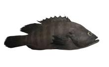 Black Grouper Fish Isolated On...
