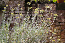 Yellow Blooming Curry Plant (H...