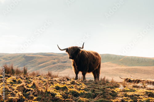 Fototapeta Highland Cow in Isle of Skye, Scotland. obraz