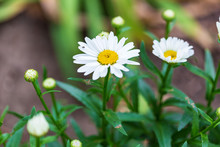More Of The Shasta Daisy Bloom...