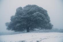 Snow Covered Oak Tree In The Fog, Morgan Territory Regional Preserve, Livermore, California, United States