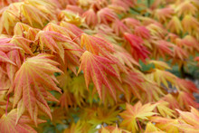 Colourful Fresh Foliage Of Acer Palmatum