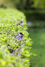 Sparrows In Trim Green Shrub