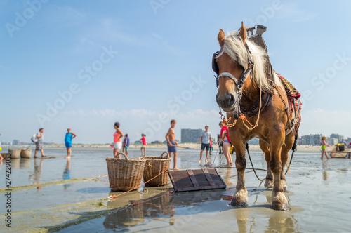 Fotografie, Tablou  Cheval de plage, pêcheur de crevettes grises en été à Oostduinkerke sous un ciel