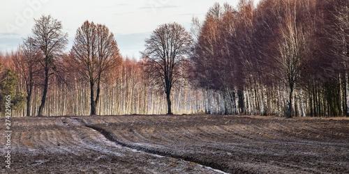 Panorama zaroanego pola z sylwetkami drzew i laskiem brzozowym - 274229665