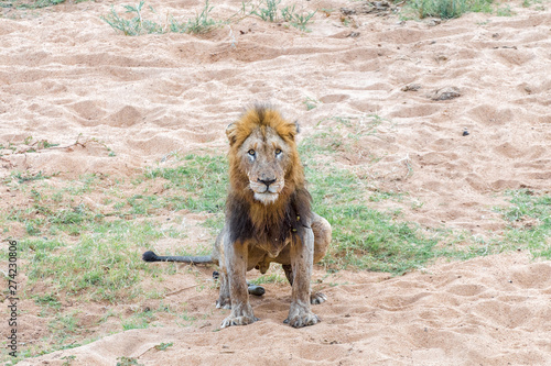 Fotografia, Obraz Scarred male lion doing his ablutions