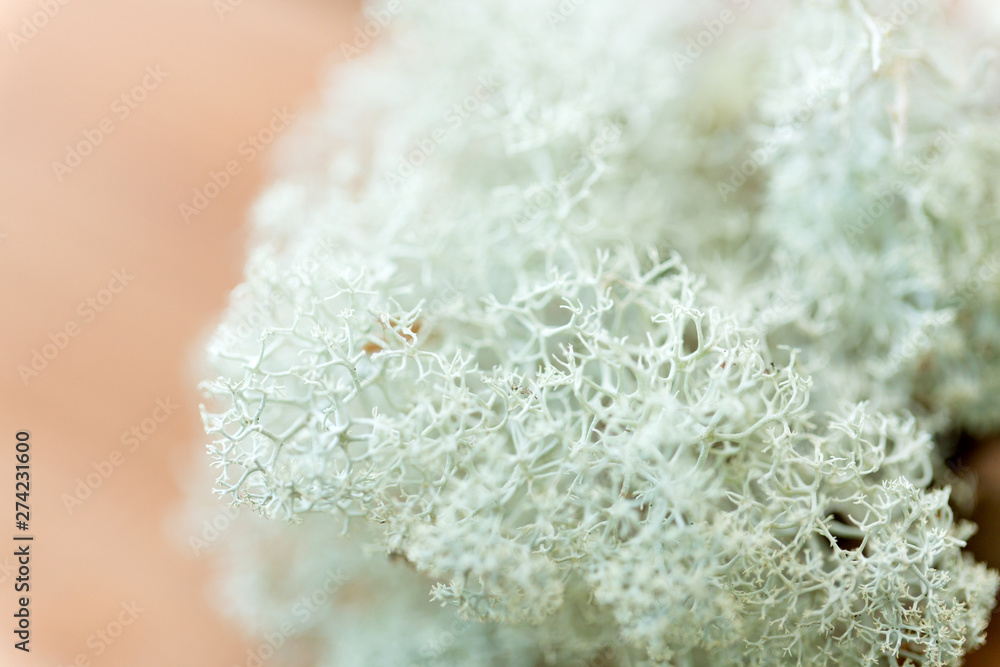 Fototapety, obrazy: nature, environment and botany - close up of reindeer lichen moss