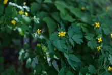 Chelidonium Majus, Greater Celandine Or Tetterwort Yellow Flowers