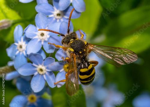 Wasp on Wood Forget-me-not Tapéta, Fotótapéta
