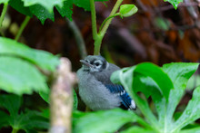 Young  Blue Jay  (Cyanocitta Cristata) In The Forest
