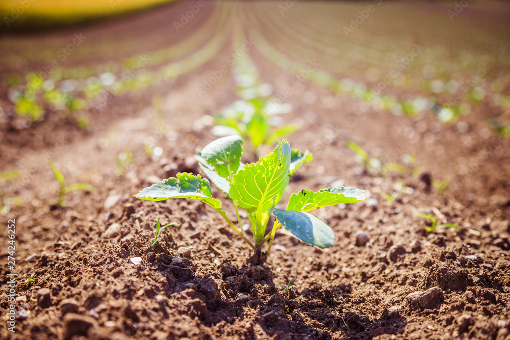 Fototapety, obrazy: Fresh green plants on an agriculture field