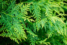 Soft Close-up Of Bright Green-yellow Texture Of Thuja Occidentalis Needles With Raindrops. Selective Focus On Left Side. Interesting Nature Concept For Background Design