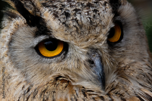 Cadres-photo bureau Chouette Eagle owl portrait - yellow eyes are looking in the cameralens