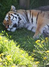 Siberian Tiger Sleeping In The...