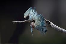Green Heron (Butorides Virescens) Taking A Dive Composite