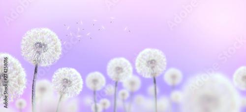 Foto op Plexiglas Purper white dandelions on mauve background