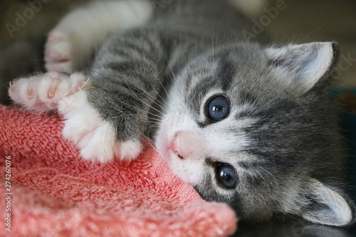Fotografia beautiful small gray and white kitten is lying on the floor and cuddling