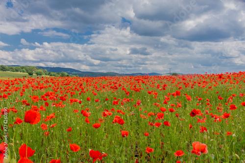 Fototapeta Sommerliche Gefühle auf einem Mohnfeld im wunderschönen Werratal. Thueringen obraz na płótnie