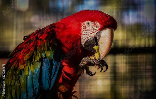 Fotobehang Papegaai Ara parrot eating apple