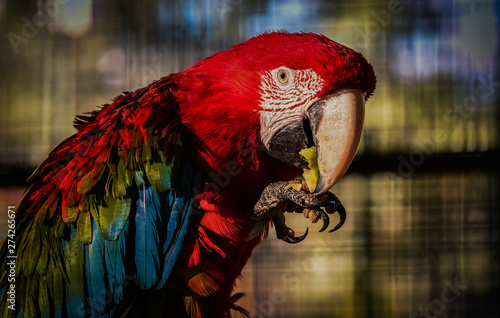 Deurstickers Papegaai Ara parrot eating apple