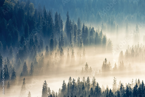 Poster Morning with fog thick glowing fog among spruce forest down in the valley. wonderful nature background. aerial viewpoint. typical scenery of romanian carpathian mountains in autumn