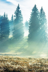 Obraz na Szkle Las sun rays breaking through the fog in spruce forest. beautiful nature scenery. magical weather in autumn at sunrise