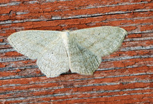 Night Moth. These Are Butterflies, Whose Wingspan Reaches 1.5 Cm, Sobi Have A Thin Body And Relatively Long Legs. On The Head Of The Butterfly There Is A Pair Of Well Distinguishable Somewhat Convex E