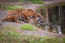 Bengal Tiger Drinks Water In Serengeti Park, Zoo And Leisure Park In Hodenhagen In North Germany