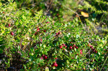 In The Green Grass Illuminated By The Sun Grow Bunches Of Wild Red Cranberries On The Background Of Branches Of The Taiga Forest.