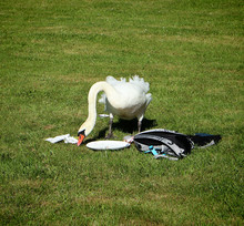 Urbanized Swan Look For Food A...