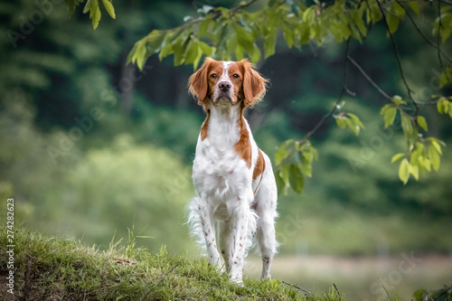 Photo close up portrait of brittany spaniel female dog portrait