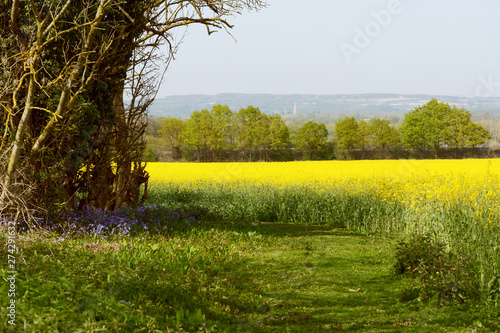 Fototapeta Bluebells growing at the edge of a field of oilseed rape obraz na płótnie