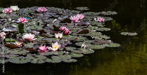 Photo Stands Water lilies Seerosenteich