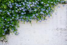 Beautiful Plumbago Or Blue Jasmine Tree Flowers On The Wall In Bodrum City Of Turkey. View Of Beautiful Street At Summer Season In Bodrum Town Turkey.