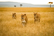 Three Female Lions Striving Th...