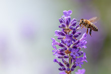 Bee On Lavender Flower Collect...