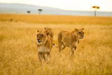 Three Female Lions Striving Through The Veldt Of The Maasai Mara, Kenya.