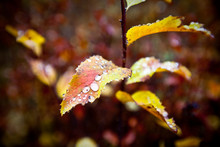 Fall Leaves Collect Rain Drops During An Autumn Afternoon In Central Idaho.