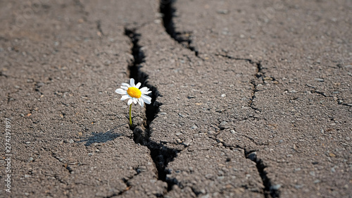 chamomile in cracks of asphalt road. Single chamomile breaking through road. concept of nature and environment protection. copy space. soft selective focus